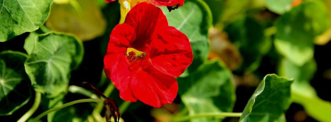 Kapuzinerkresse, die Feuerblume aus Peru