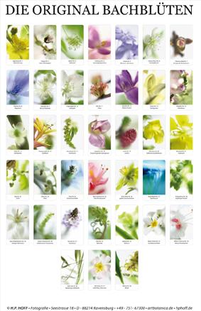 Poster Bachblüten