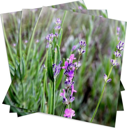Lavendel Poster - HAGALL Verlag