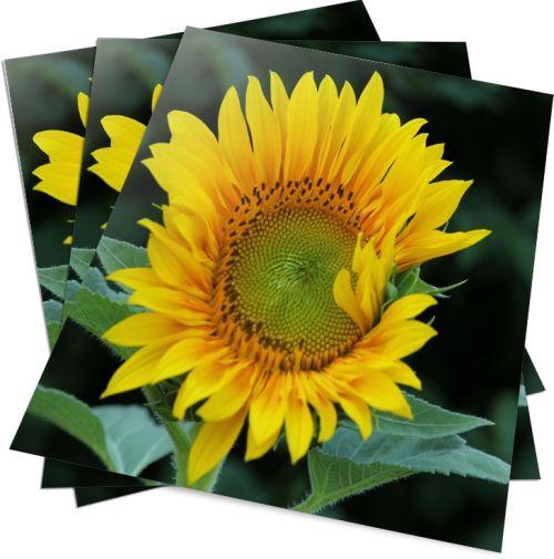 Sonnenblume Poster - HAGALL-Verlag