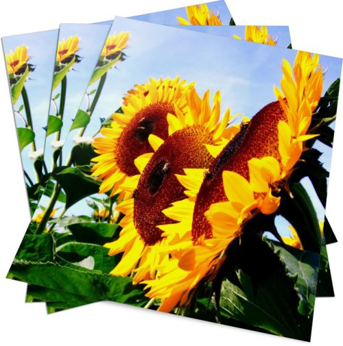 Sonnenblume Poster - HAGALL Verlag